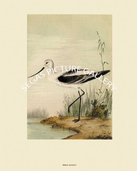 Fine art Print of the White Avocet or Western Avocet by John Cassin (1856)